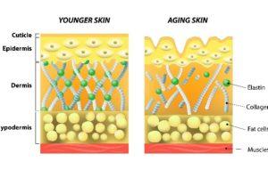 年轻皮肤   年老皮肤 胶原蛋白的质量是年轻皮肤和老化皮肤的首要区别,使用带SPF的唇部护理产品能让唇部长久保持年轻态。